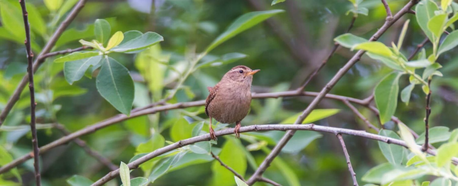 carolina wren bird wildlife garden